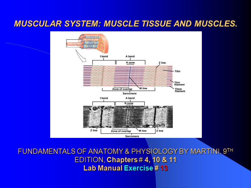 MUSCULAR SYSTEM MUSCLE TISSUE AND MUSCLES