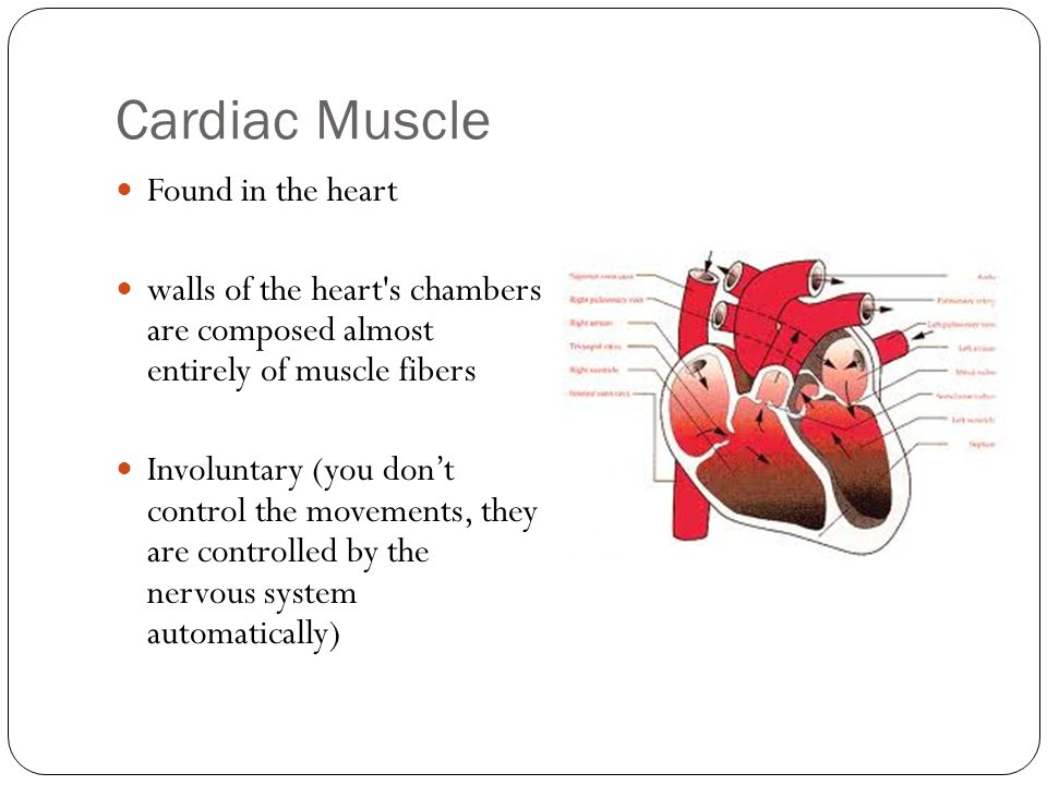 Cardiac Muscle Found in the heart