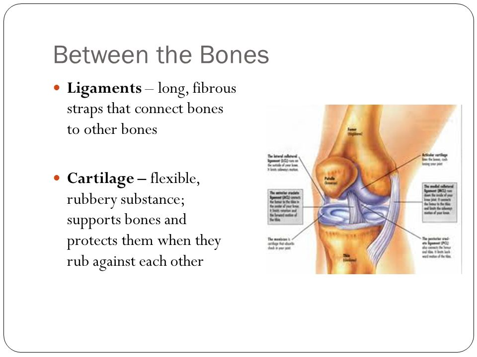 Between the Bones Ligaments – long, fibrous straps that connect bones to other bones.