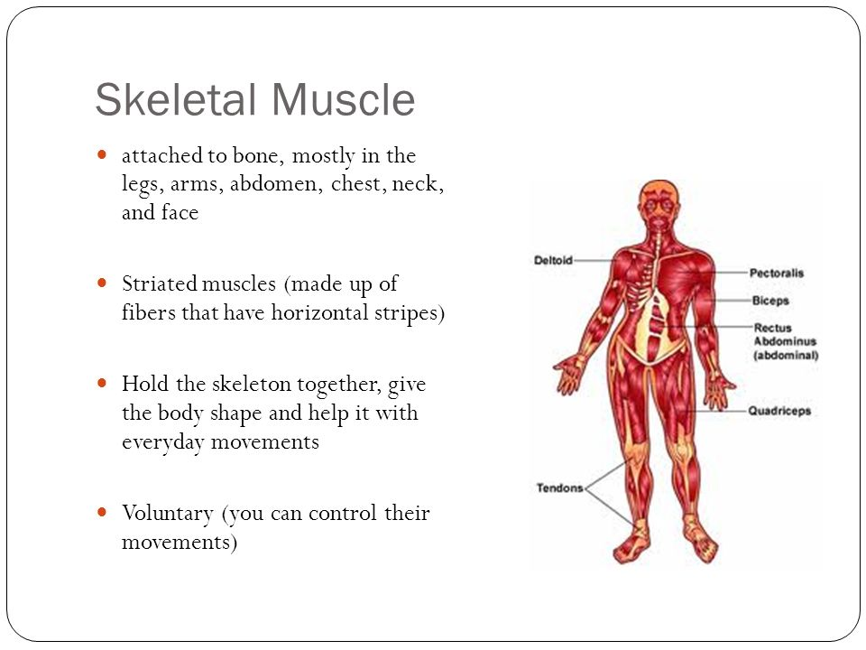 Skeletal Muscle attached to bone, mostly in the legs, arms, abdomen, chest, neck, and face.
