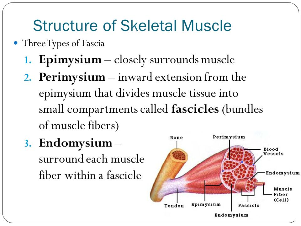 the structure of skeletal muscle biology essay This free science essay on essay: anatomy is perfect for science students to use as an example  human anatomy is the subdiscipline of biology which focuses on the internal structures of.