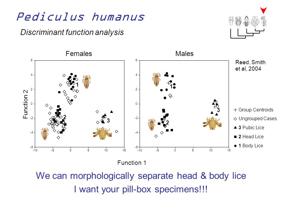 Pediculus humanus We can morphologically separate head & body lice