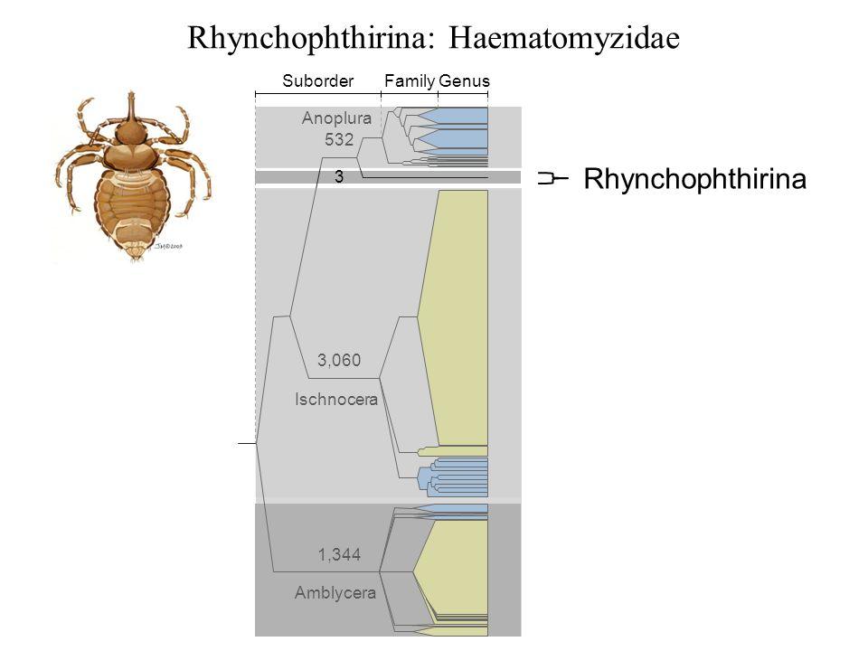 Rhynchophthirina: Haematomyzidae