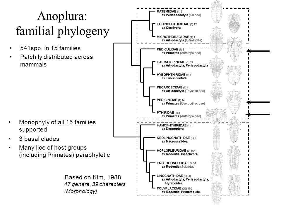 Anoplura: familial phylogeny 541spp. in 15 families