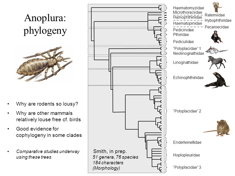 Anoplura: phylogeny Why are rodents so lousy