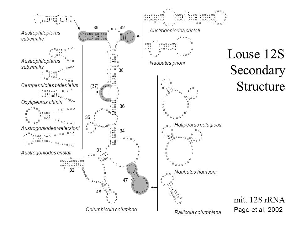 Louse 12S Secondary Structure