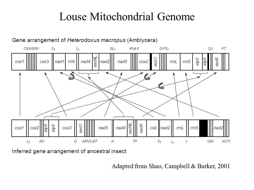 Louse Mitochondrial Genome