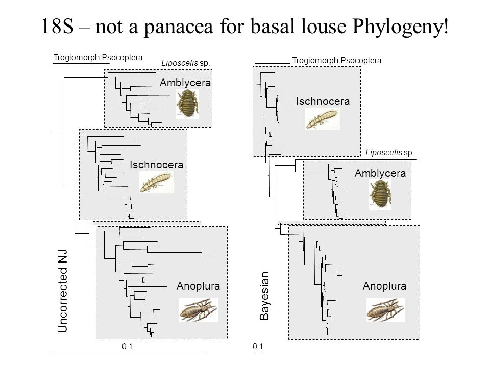18S – not a panacea for basal louse Phylogeny!
