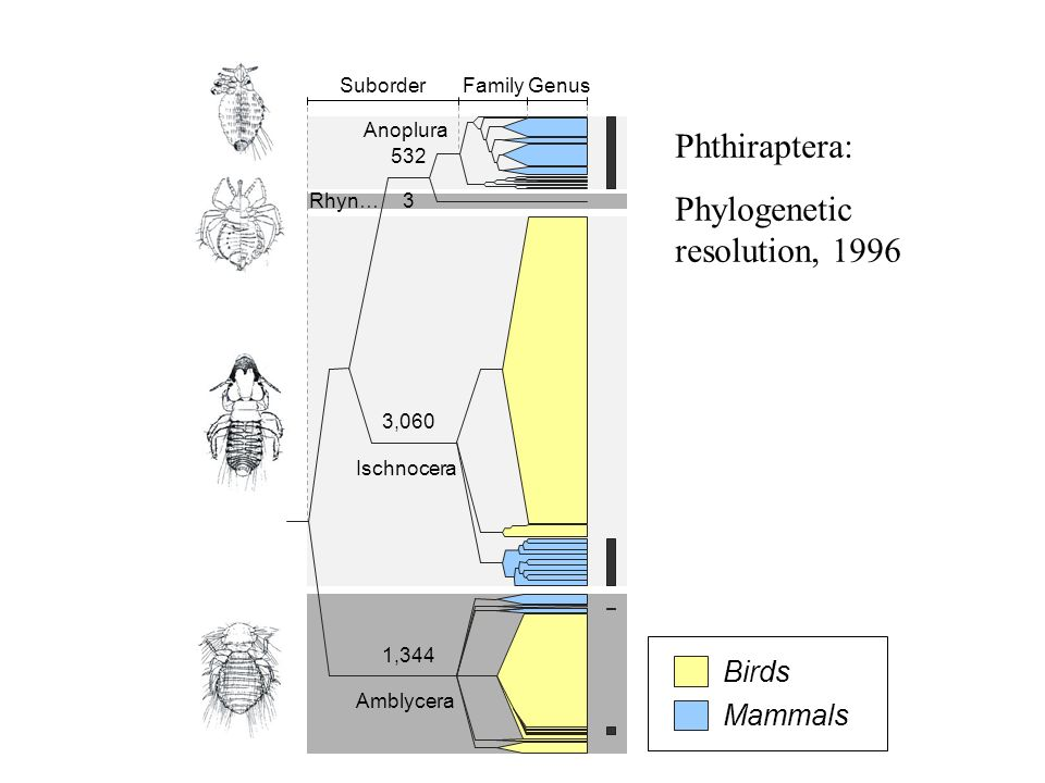 Phylogenetic resolution, 1996 Rhynchophthirina