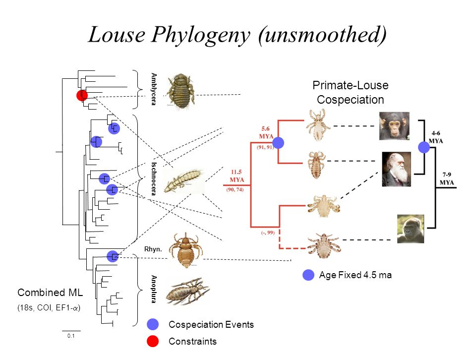 Louse Phylogeny (unsmoothed)
