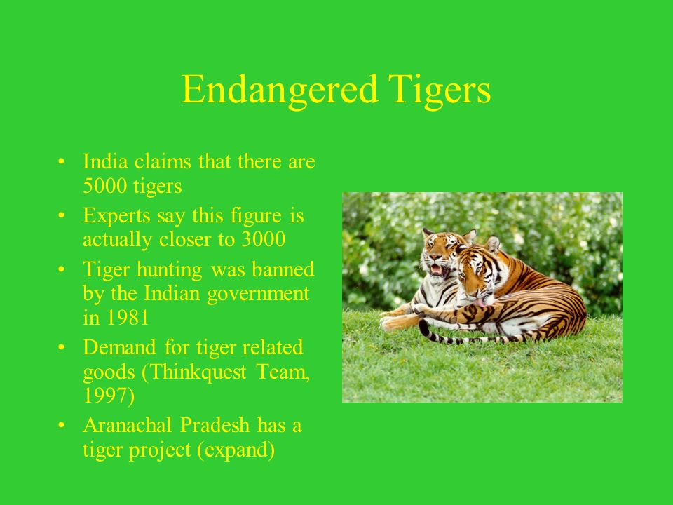 Endangered Tigers India claims that there are 5000 tigers