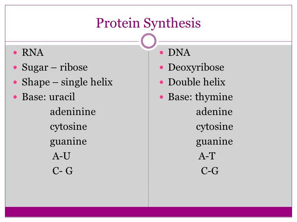 Protein Synthesis RNA Sugar – ribose Shape – single helix Base: uracil