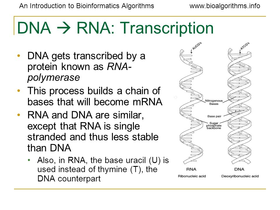 DNA  RNA: Transcription