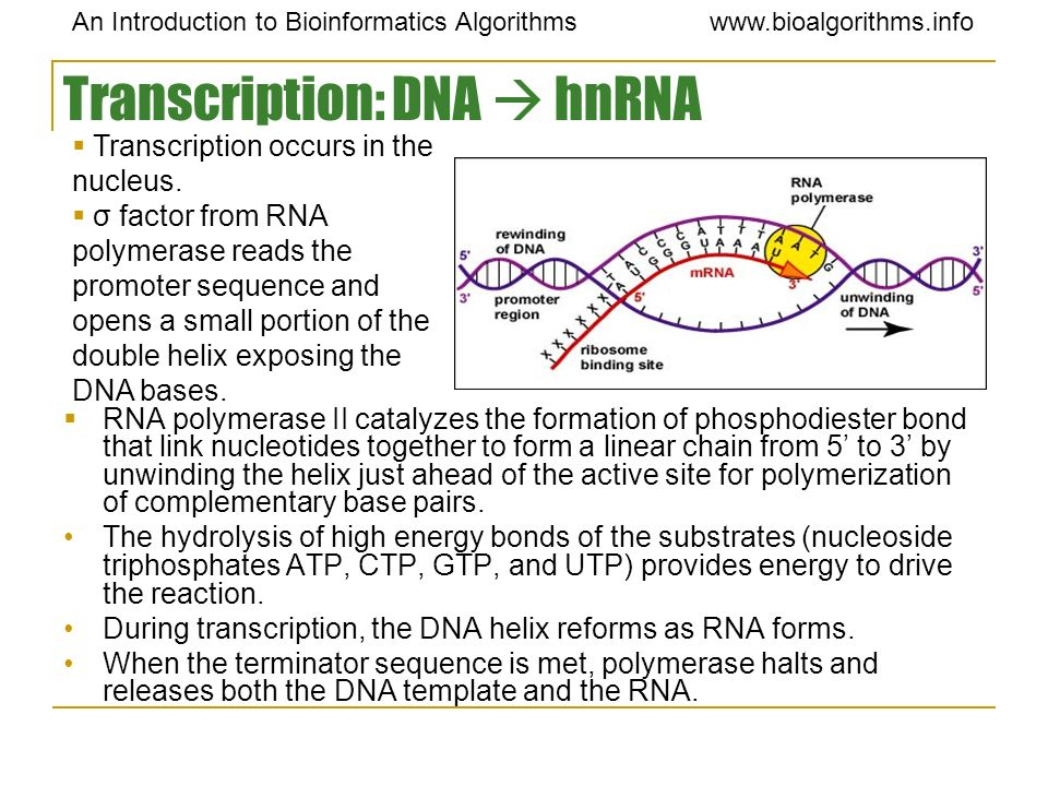 Transcription: DNA  hnRNA