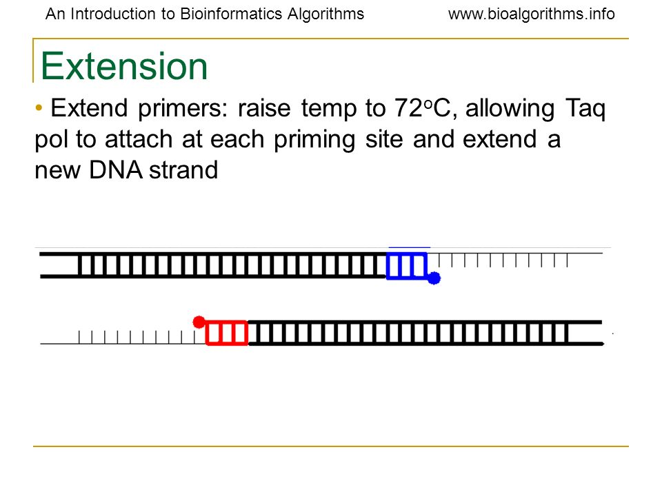 Extension Extend primers: raise temp to 72oC, allowing Taq pol to attach at each priming site and extend a new DNA strand.