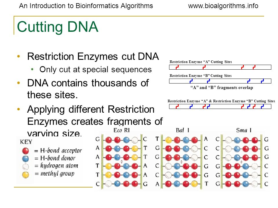 Cutting DNA Restriction Enzymes cut DNA