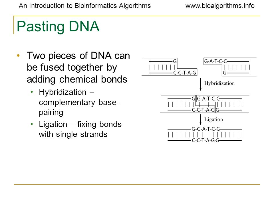 Pasting DNA Two pieces of DNA can be fused together by adding chemical bonds. Hybridization – complementary base-pairing.