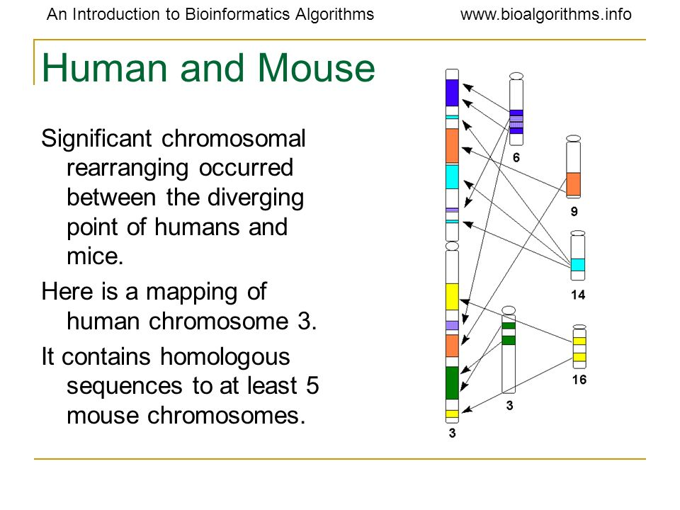 Human and Mouse Significant chromosomal rearranging occurred between the diverging point of humans and mice.