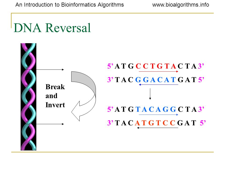 DNA Reversal 5' A T G C C T G T A C T A 3'