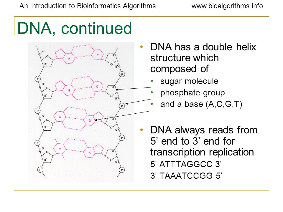 DNA, continued DNA has a double helix structure which composed of
