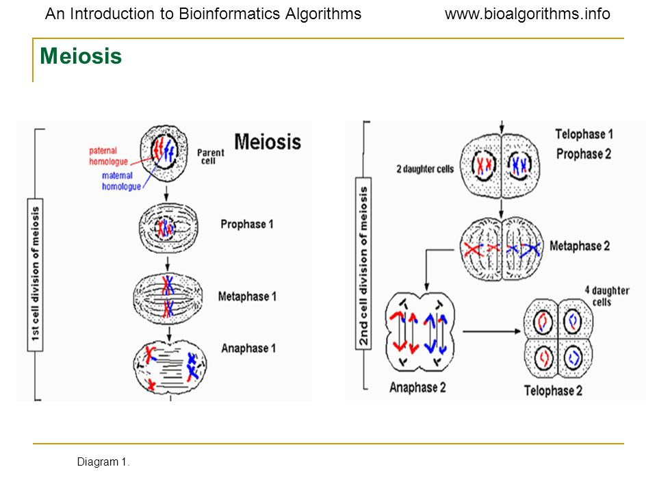 Meiosis Diagram 1.