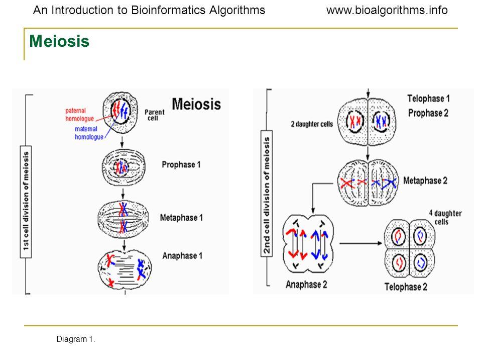 Meiosis Diagram 1.