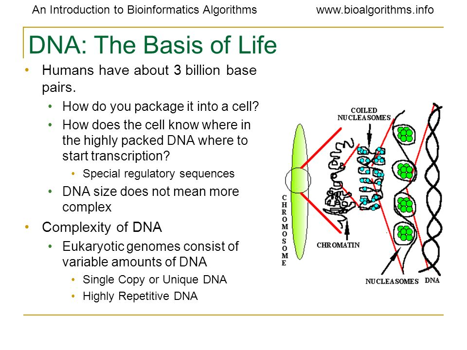 DNA: The Basis of Life Humans have about 3 billion base pairs.