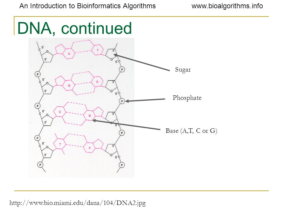 DNA, continued Sugar Phosphate Base (A,T, C or G)