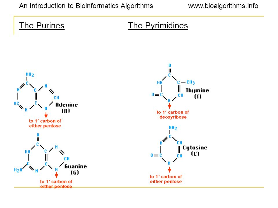 The Purines The Pyrimidines