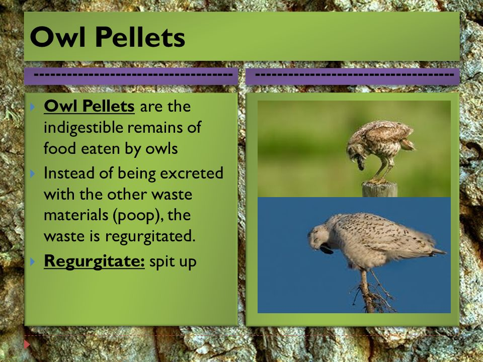 The Barn Owl The Barn Owl Is Found All Over America Ppt