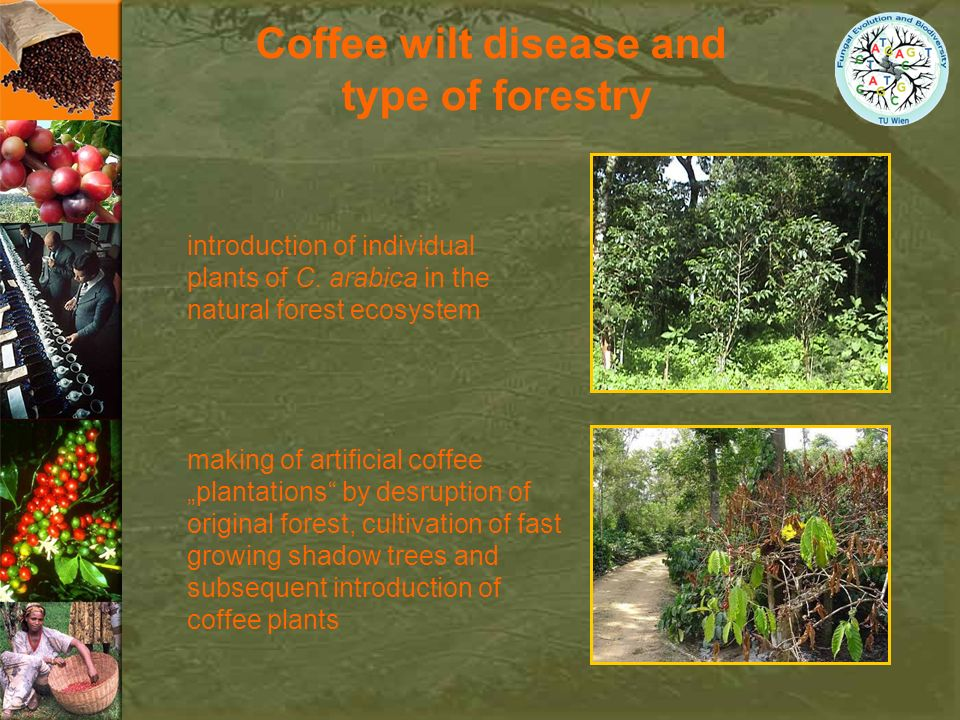 Coffee wilt disease and