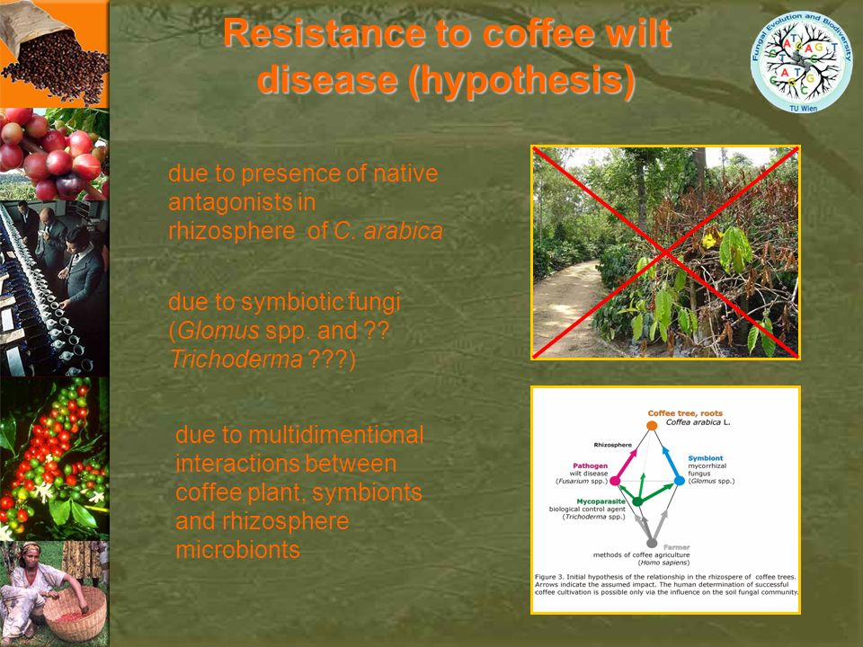 Resistance to coffee wilt disease (hypothesis)