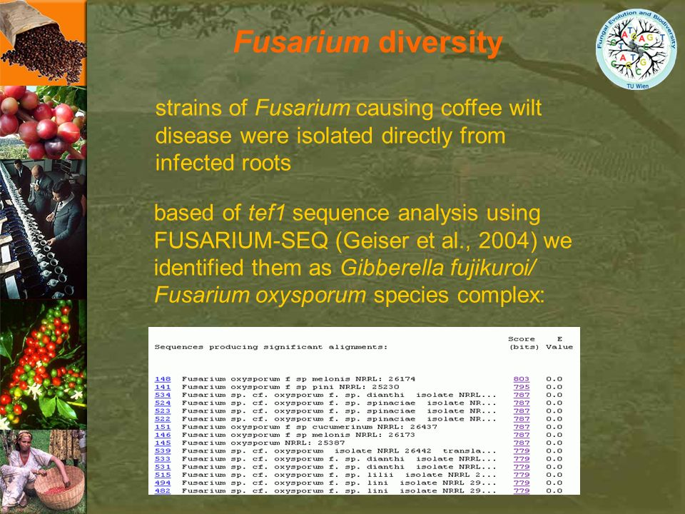 Fusarium diversity strains of Fusarium causing coffee wilt disease were isolated directly from infected roots.