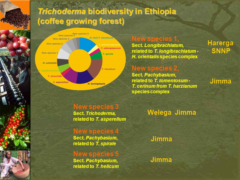 Trichoderma biodiversity in Ethiopia (coffee growing forest)