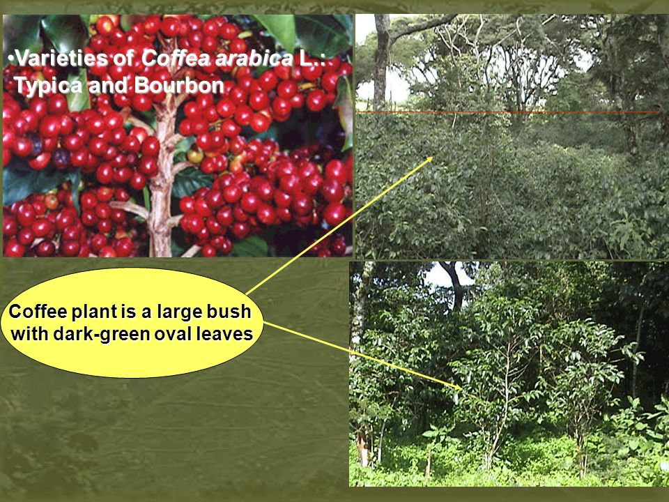 Coffee plant is a large bush with dark-green oval leaves