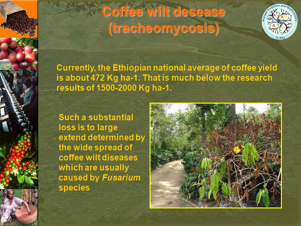 Coffee wilt desease (tracheomycosis)