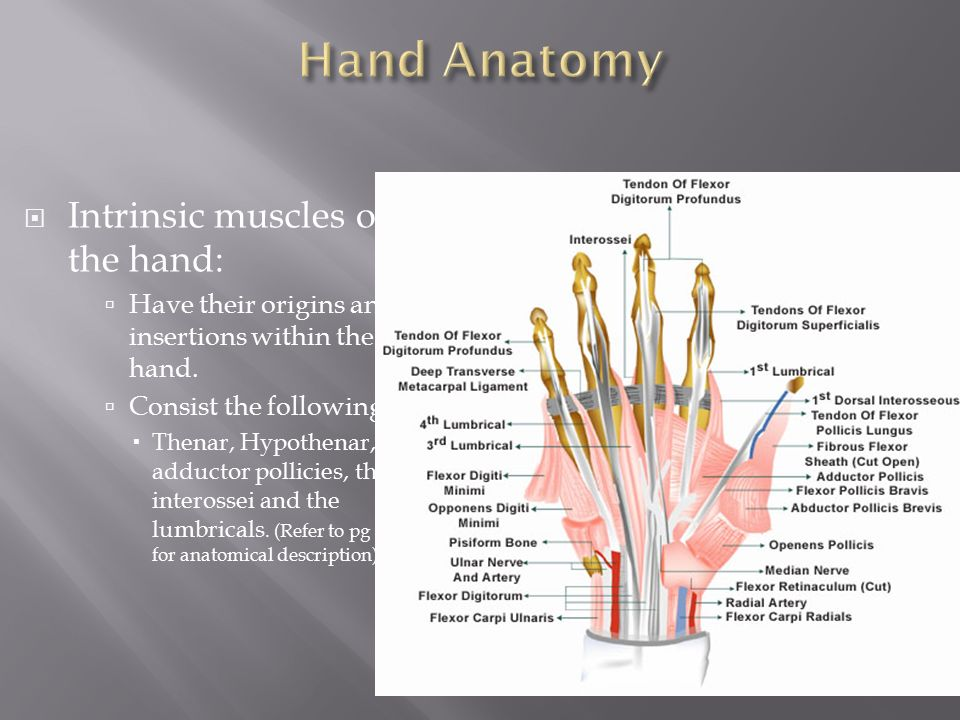 Hand Anatomy Ppt Gallery - human body anatomy