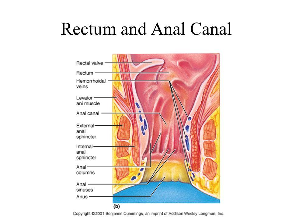Abdominal Region II PA 544 Clinical Anatomy Tony Serino ...
