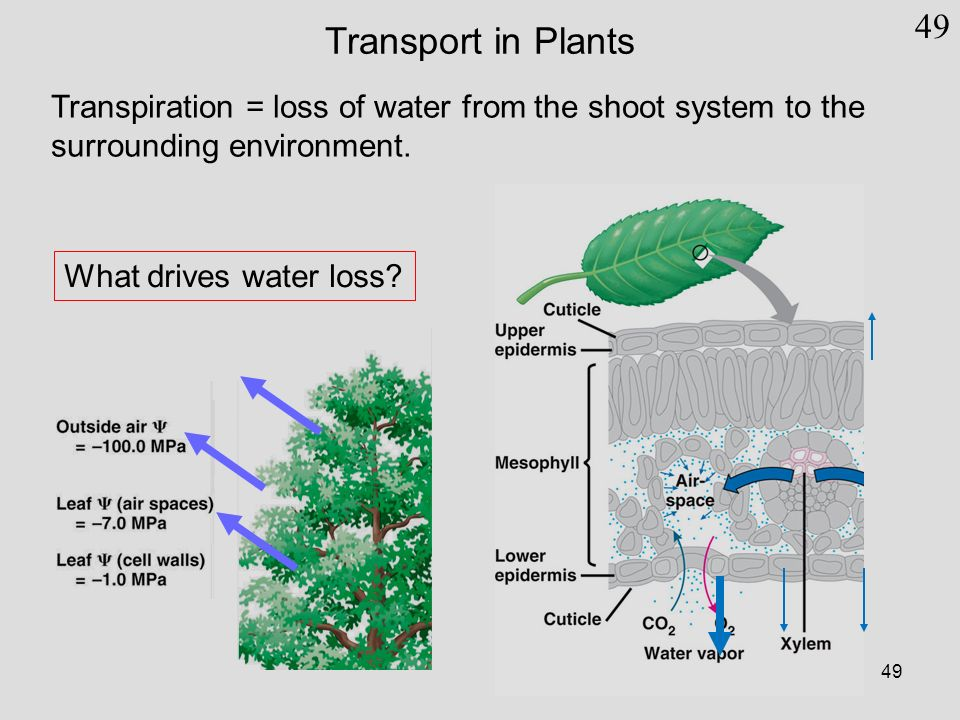 water transport in plants Soil water – the source of water for transpiration out of the plant comes from the soil.