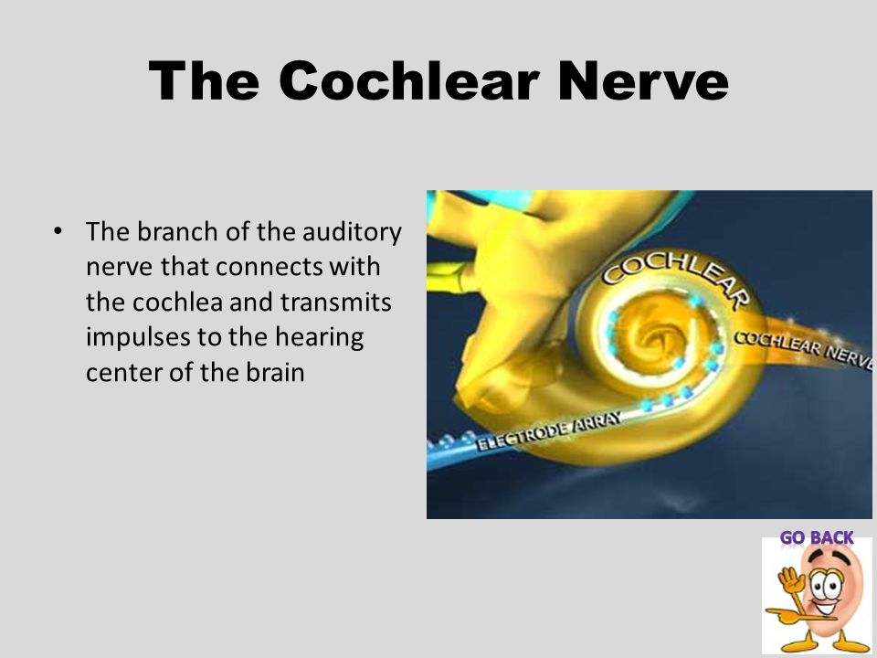 The Cochlear Nerve The branch of the auditory nerve that connects with the cochlea and transmits impulses to the hearing center of the brain.