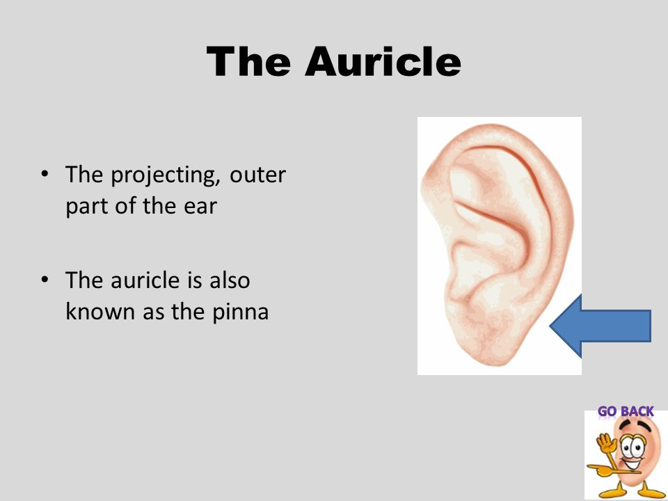 The Auricle The projecting, outer part of the ear