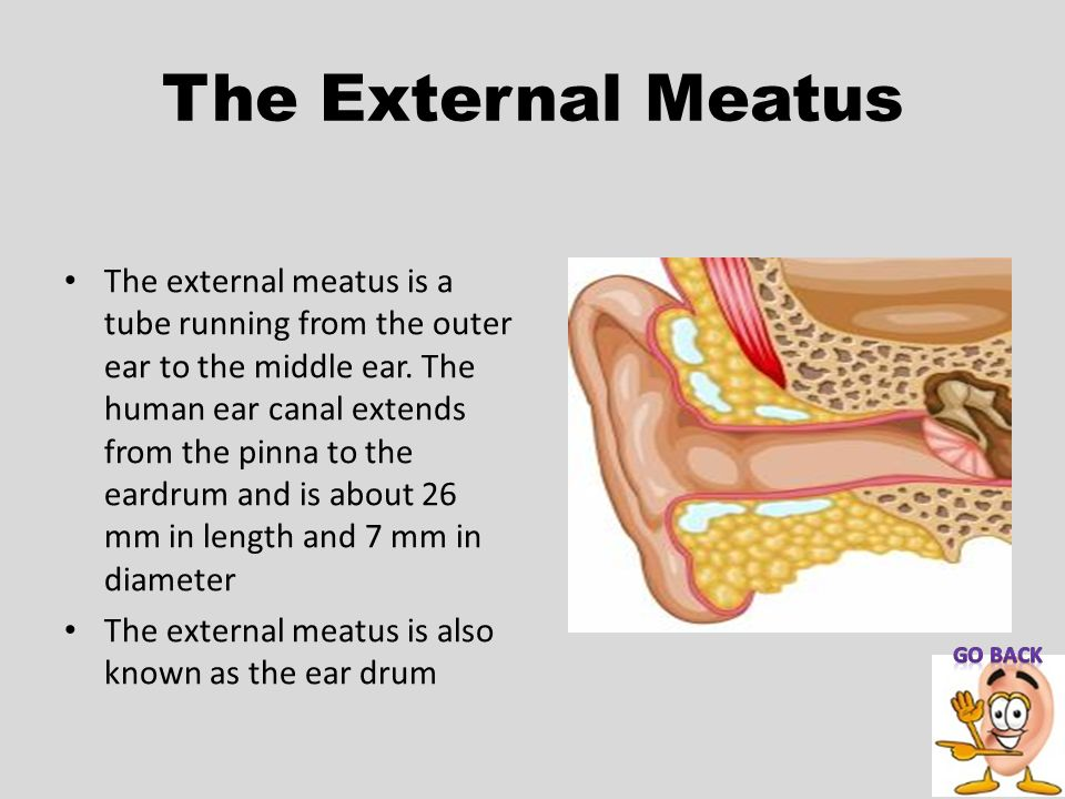 The External Meatus