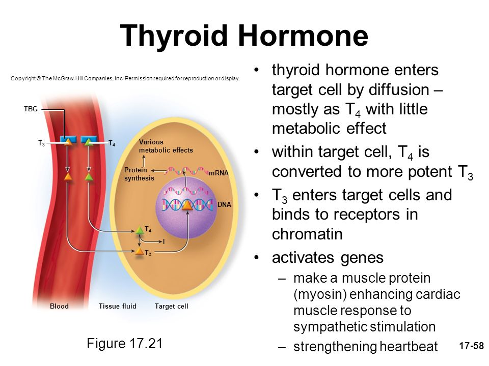 activity 1 metabolism and thyroid hormone They are tyrosine-based hormones that are primarily responsible for regulation of metabolism neuronal activity the thyroid hormones from the thyroid.