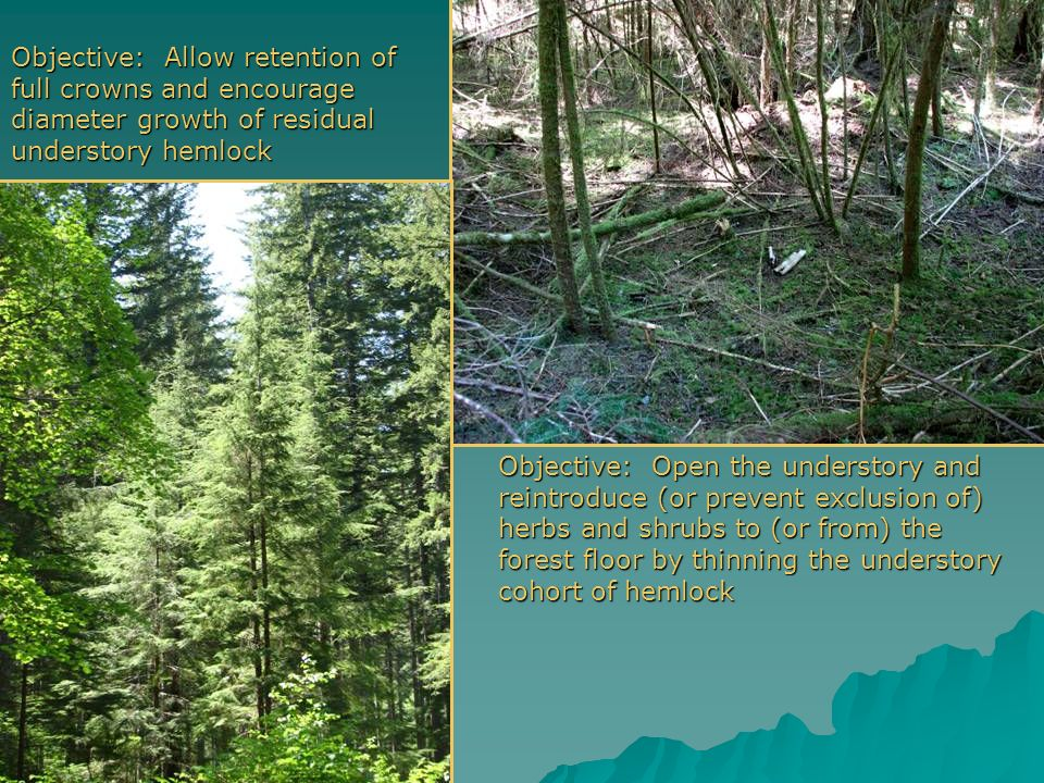 Objective: Allow retention of full crowns and encourage diameter growth of residual understory hemlock