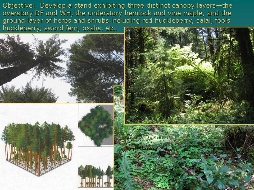 Objective: Develop a stand exhibiting three distinct canopy layers—the overstory DF and WH, the understory hemlock and vine maple, and the ground layer of herbs and shrubs including red huckleberry, salal, fools huckleberry, sword fern, oxalis, etc.
