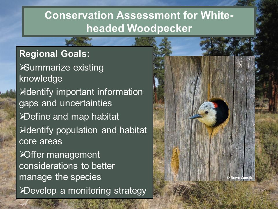 Conservation Assessment for White-headed Woodpecker