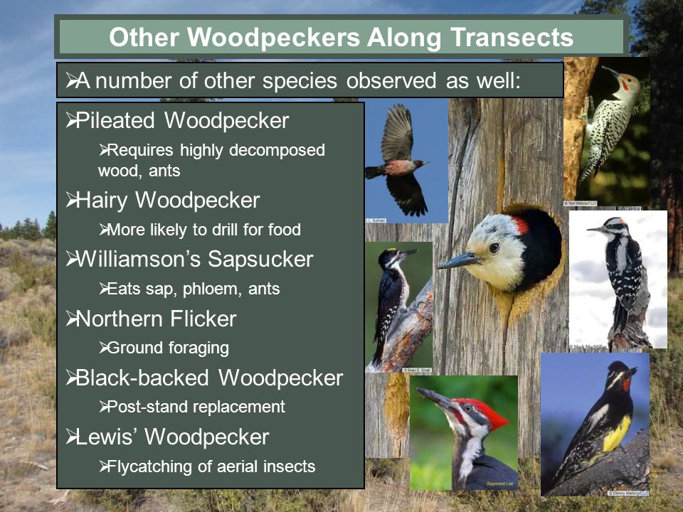 Other Woodpeckers Along Transects