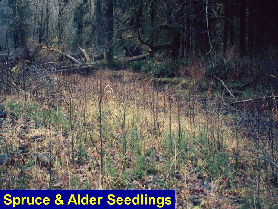 Spruce & Alder Seedlings