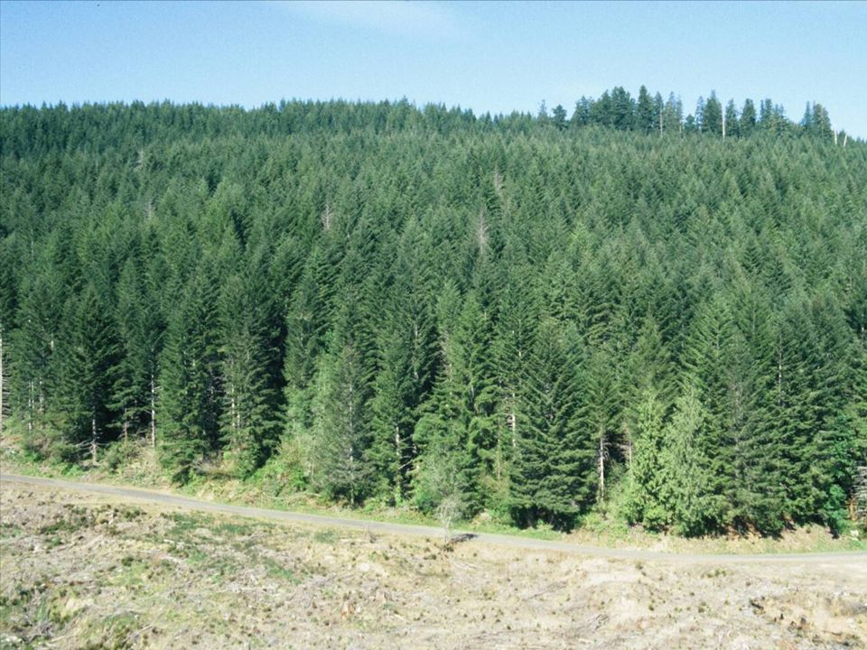 By the time a D-fir stand is 30-40 years old, the conifer canopy makes up the main layer of vegetation, and any understory that survived early control has long been shaded out....