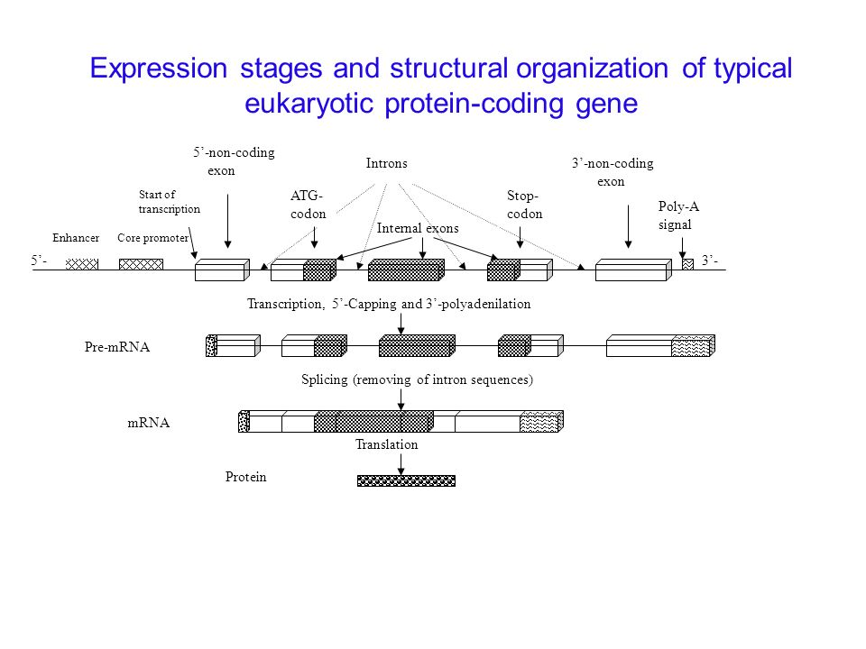 Expression stages and structural organization of typical eukaryotic protein-coding gene